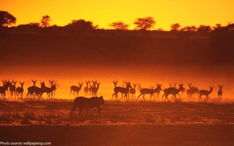 antelope lion hunting