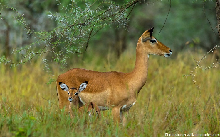 antelope mother and baby