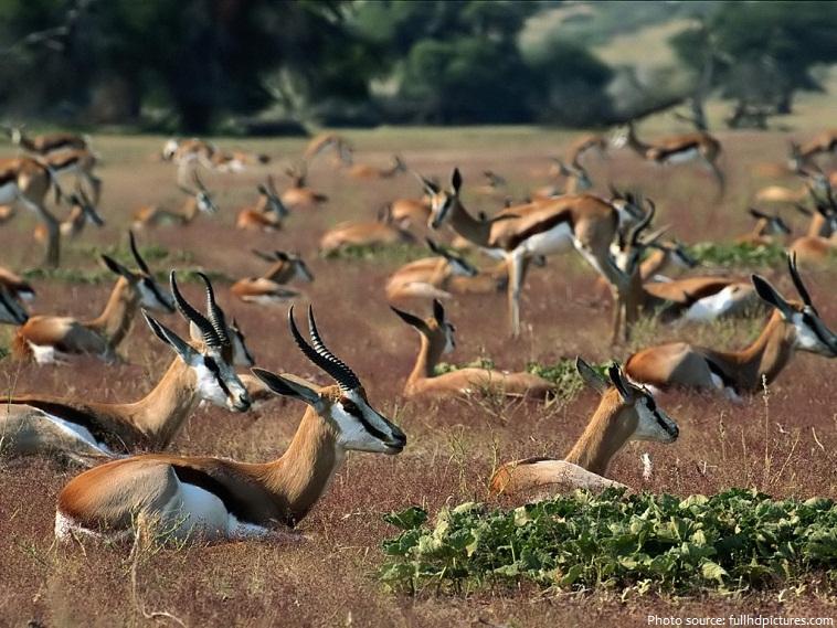 antelopes-2