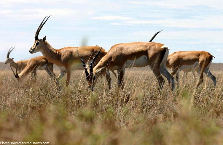 antelopes-3