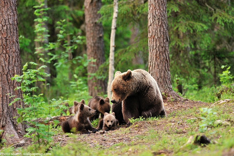 bear cubs and mother