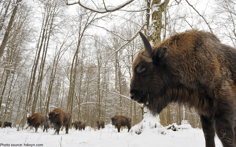 białowieża forest bison belarus