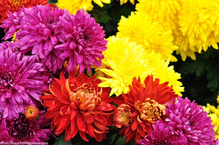 Interesting facts about chrysanthemums just fun facts chrysanthemums 2 mightylinksfo