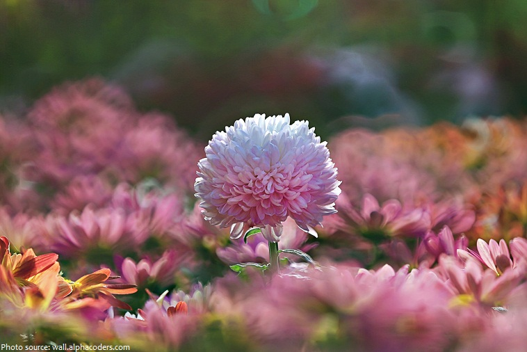 Interesting Facts About Chrysanthemums Just Fun Facts