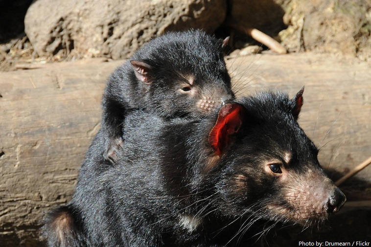 mother and baby tasmanian devil