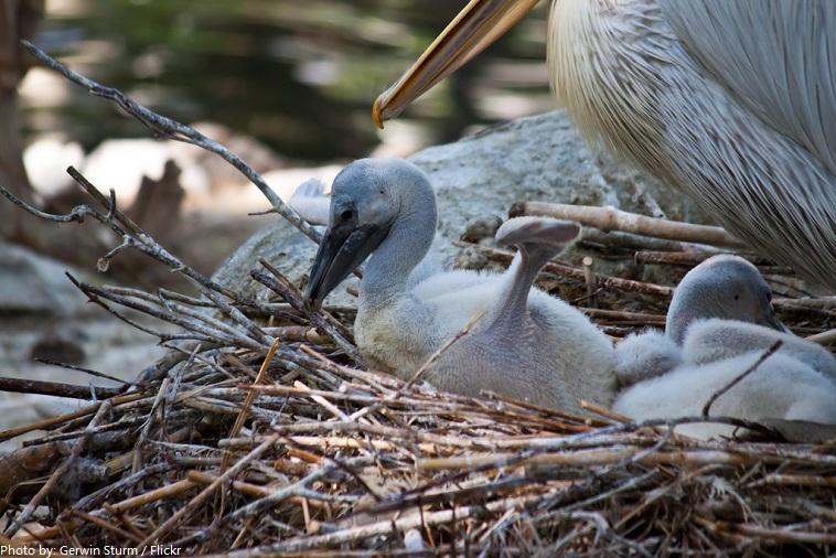 pelican babies