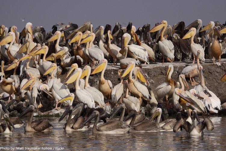 pelicans-3