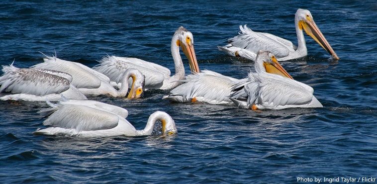 pelicans fishing