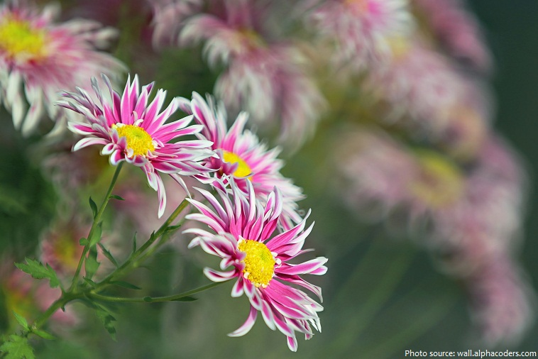 spray chrysanthemums