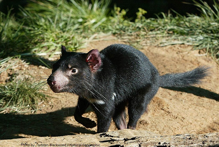 tasmanian-devil-3