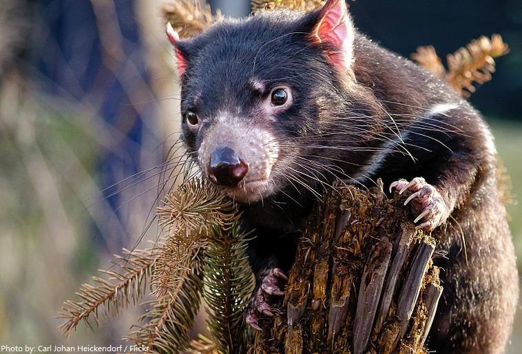 tasmanian-devil-4