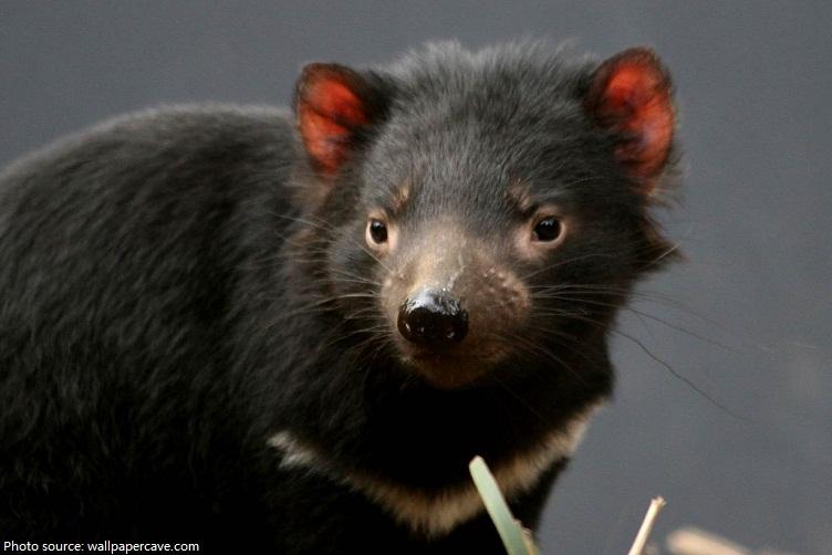 tasmanian-devil-5