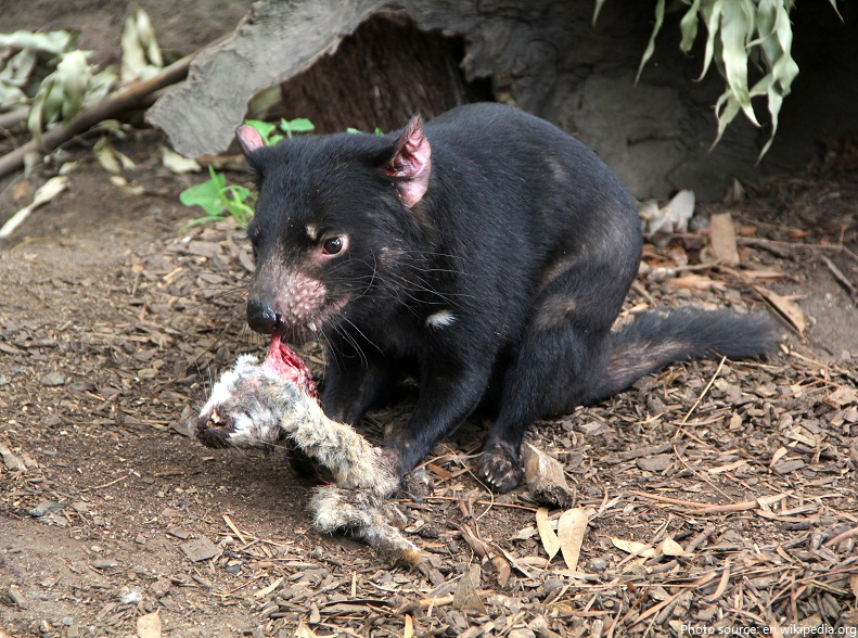 tasmanian devil eating