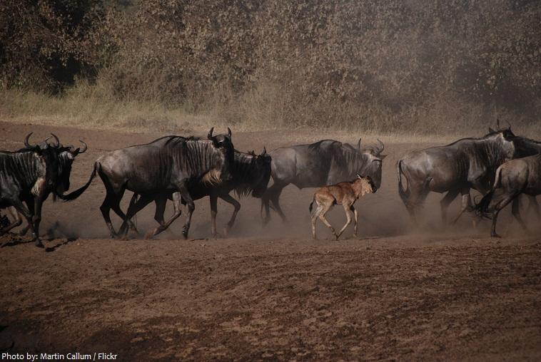 wildebeests baby