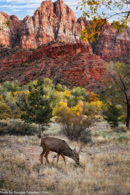 zion national park deer