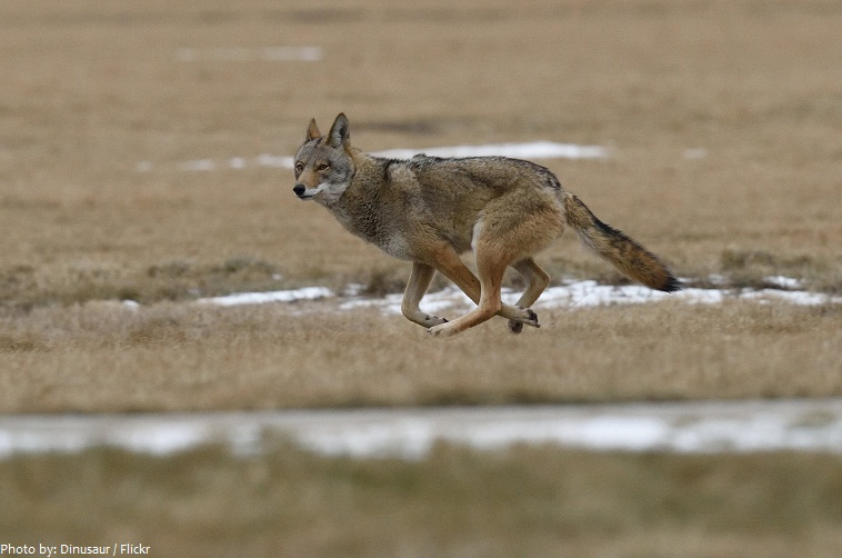 Interesting facts about coyotes | Just Fun Facts  Interesting fac...