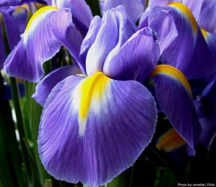 iris-flower-2