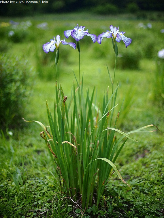 Interesting Facts About Irises Just Fun Facts