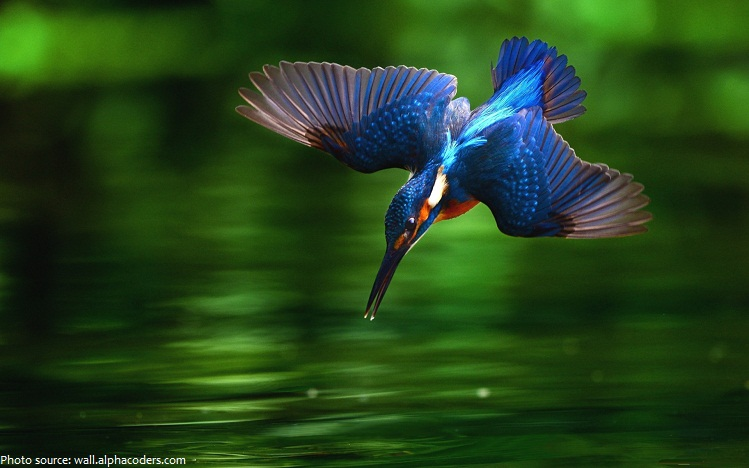 kingfisher-3