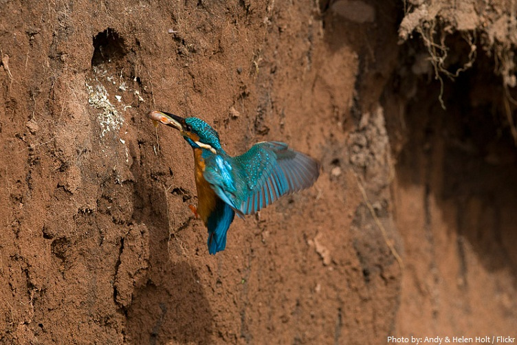 kingfisher burrow