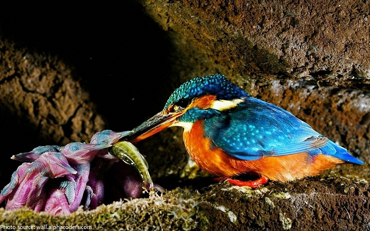 kingfisher chicks