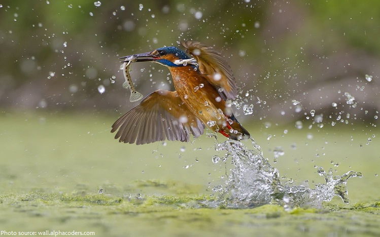 kingfisher fish