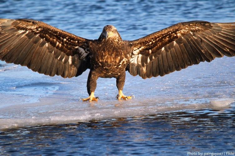 lake superior eagle