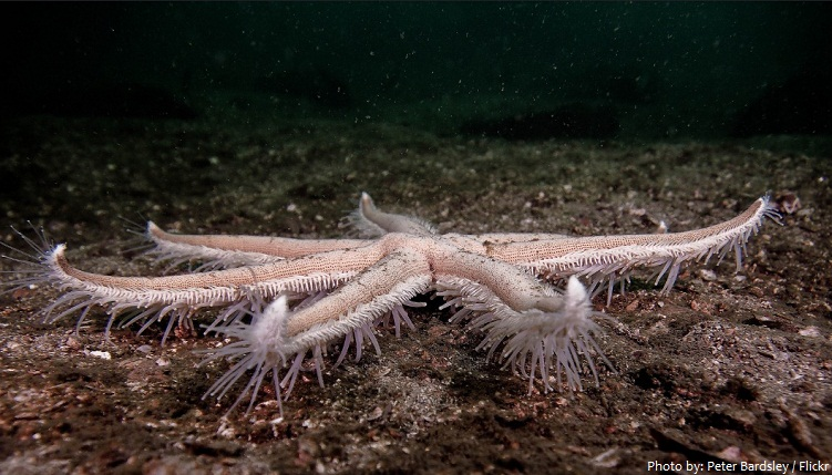 starfish tube feet