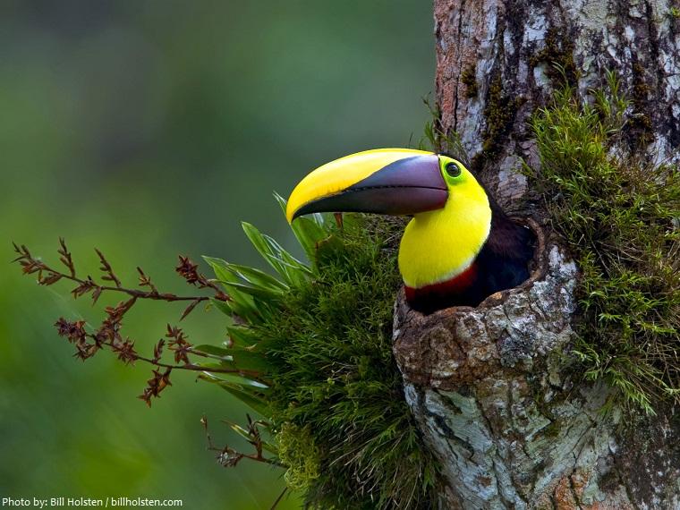 toucan nest