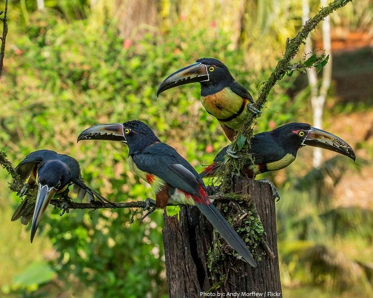 toucans flock