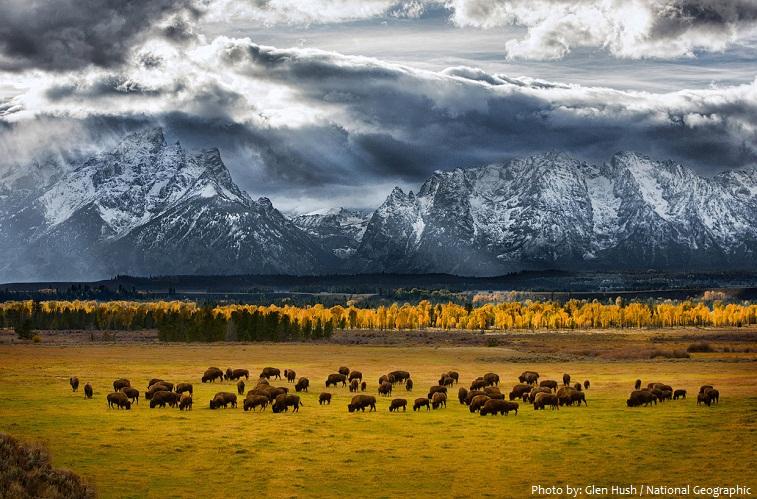 grand teton national park bisons