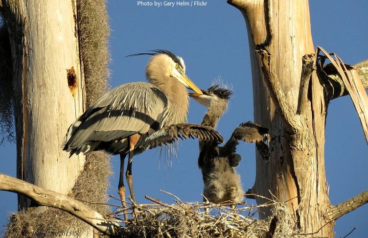 heron chick