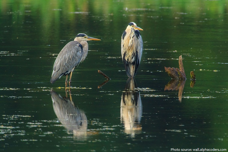 Interesting Facts About Herons Just Fun Facts