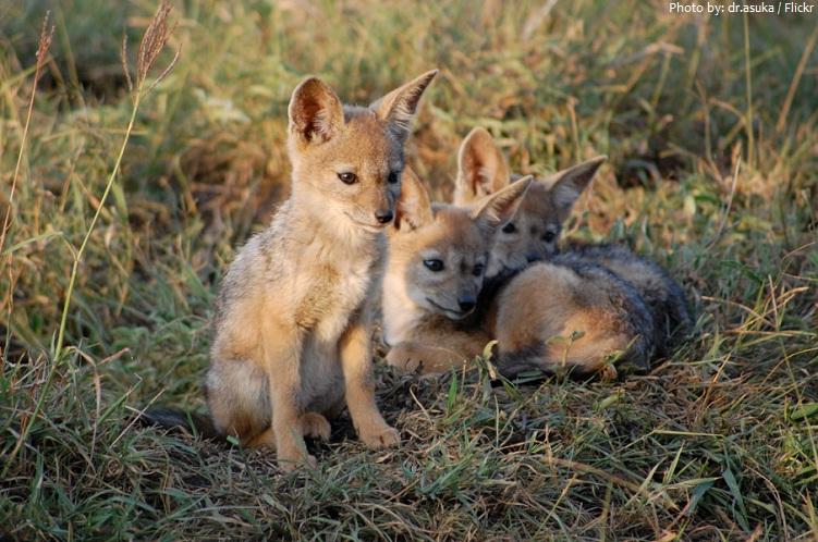 jackal cubs