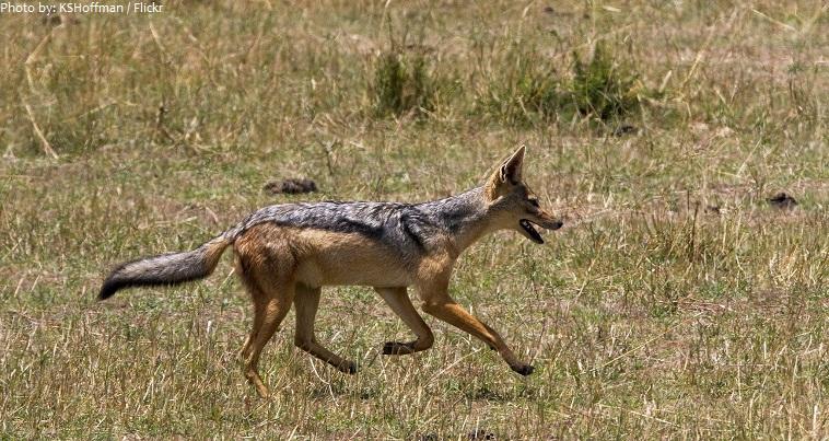 jackal running