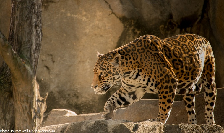 From Head To Flank, These Cats Range In Length From 1.2 To 1.95 Meters (4  To 6 Feet). The Tail Can Add Another 60 Centimeters (2 Feet) In Length, ...