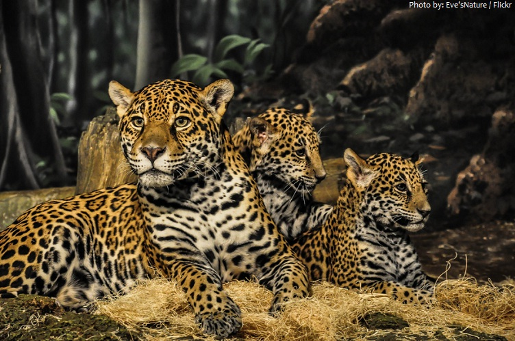 Charming Jaguar Mother And Cubs