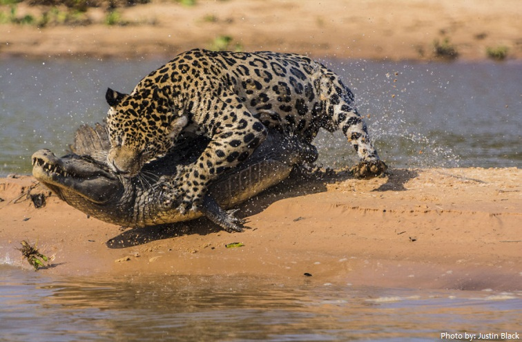 With That Bite Force, Jaguars Will Crunch Down On Bones And Eat Them. In  Fact ...