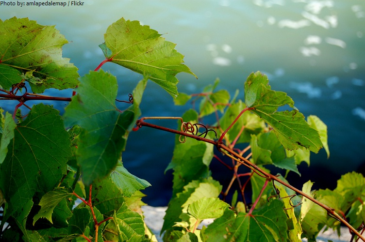lake erie grapes vine