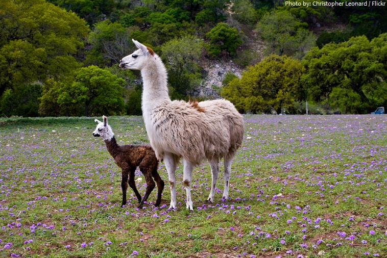 llama mother and baby