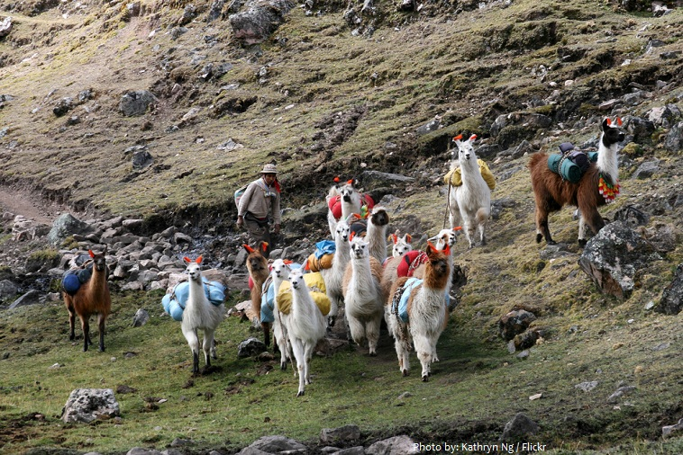 llamas packed