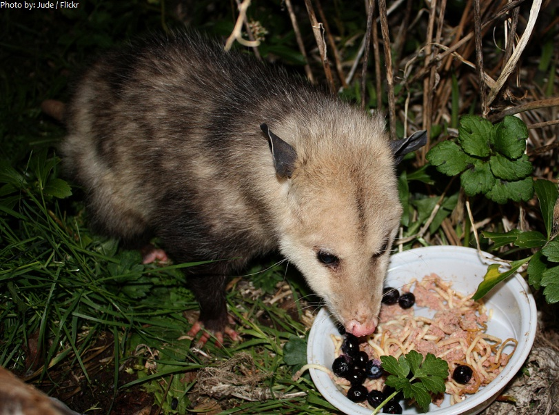 opossum eating