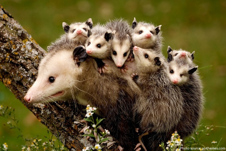 opossum mother and babies