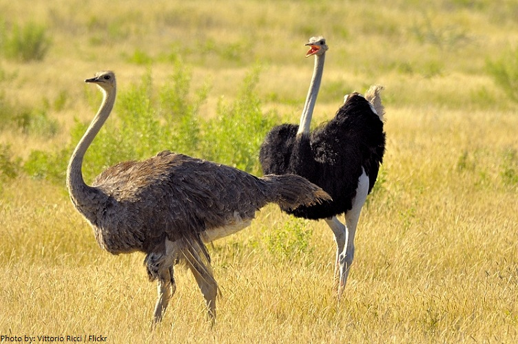 Amazing Facts about Ostriches  OneKindPlanet Animal