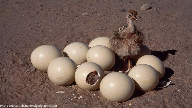 ostrich eggs chick