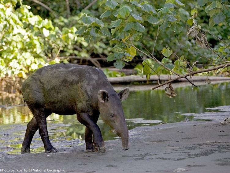 tapir-2