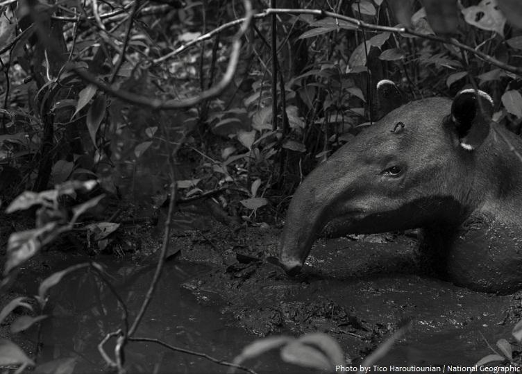 tapir-3
