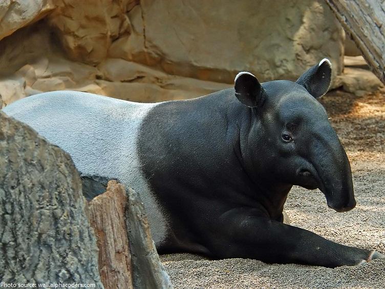tapir-4