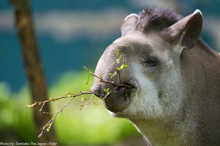 tapir eating