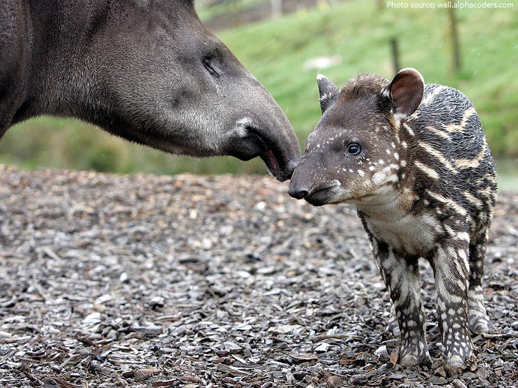 tapir mother and baby